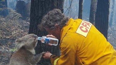 David Tree giving water to koala Sam during bushfires.