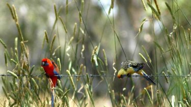 The crimson rosella is the focus of a study into rosella colour and climate — and whether a drying climate could mean more yellow rosellas in Victoria.