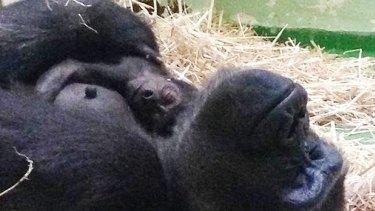 Gorilla Kimya with her new baby.