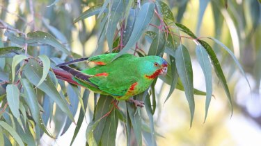 Trouble ahead: swift parrot recovery has encountered headwinds.