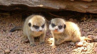 Two meerkats kits venture outside.