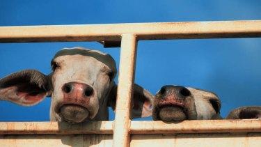 Cattle wait in Darwin stockyards.