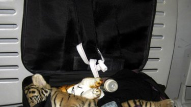 OK now, tiger ... the smuggler's suitcase the tiger was found in at Bangkok Airport.
