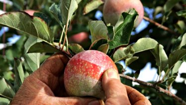 Worm in the apple ... experts alarmed by high levels of pesticide residue in US produce.
