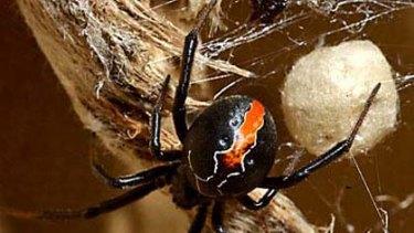 A female katipo spider.