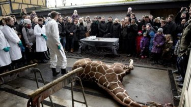 Marius, a male giraffe, lies dead before being dissected.