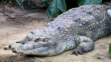 """The false gavial female crocodile who was killed during mating with a """"dominant"""" male at a zoo in Amsterdam."""