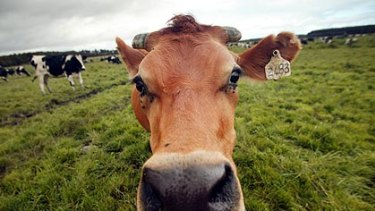 """Scientists are testing an algae that could potentially """"eat"""" carbon dioxide and feed cattle."""