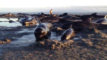A pod of stranded pilot whales at Farewell Spit in New Zealand.