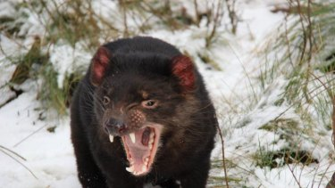 A Tasmanian devil, like this one,  was killed in a US zoo.