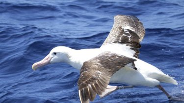 A wandering albatross in a file picture.