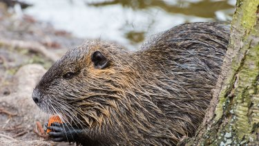 Coypus are a large semi-aquatic rodent native of South America.