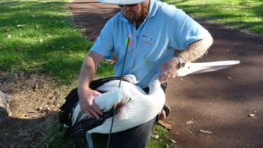 WA Seabird Rescue volunteer Craig Lester with the bird injured on Sunday.