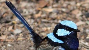 More than meets the human eye: the superb blue fairy wren