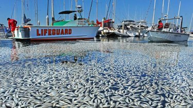 Watery grave ... Californian maritime authorities are attempting to remove millions of dead fish, thought to be sardines, from King Harbour, south of Los Angeles.