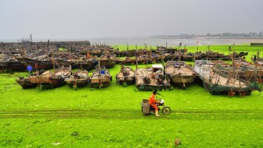 A fisherman rides past an algae-covered beachside in Rizhao, Shandong province, China,