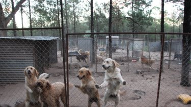 Dogs at the puppy farm in northern NSW.