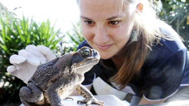 Amelia Elgar weighs a cane toad at a collection point in Cairns yesterday.