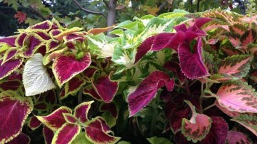 Coleus at Vivid Design display.