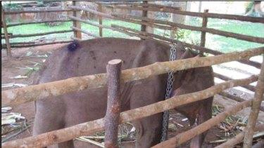 An elephant, purportedto havecomefromMyanmar,confiscatedfromtheillegaltradeinThailand,.