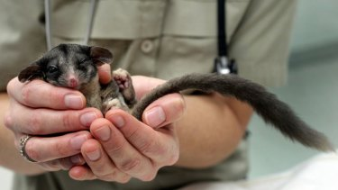 The critically endangerd Leadbeater possum.