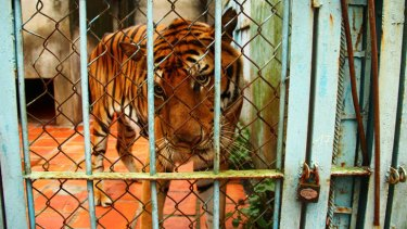 A tiger looks out from a cage at a tiger farm in Vietnam.