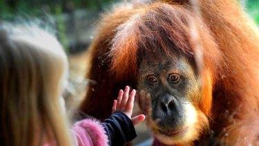 Jaime Smith meets an orang-utan at Melbourne zoo.