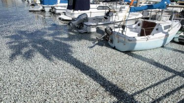 Millions of sardines  lie dead in the harbour area of Redondo Beach, south of Los Angeles.