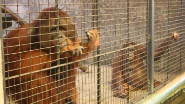 Thailand's unstable political situation means it is likely that this pair of endangered orang-utans will live out the rest of their lives behind bars. <i>Picture: Ben Doherty</i>