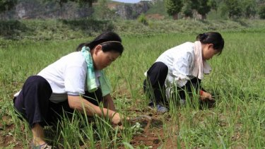 North Korean farmers using hoes weed a dried-out paddy field in Sohung county of North Hwanghae Province.