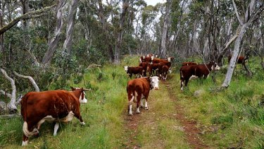Cattle grazing on the Drago High Plains. The Baillieu government contiuned to bully Melbourne University over the alpine grazing trial.