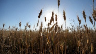 Japan spooked by wheat that wouldn't die