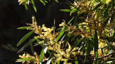 The next generation of banknotes will feature different species of wattle trees.