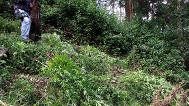 A crop of cannabis plants uncovered at Mount Glorious.