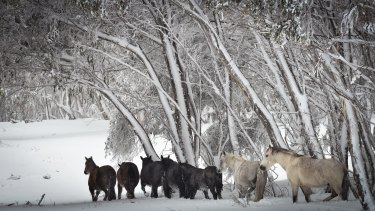 Wild horses in the Snowy Mountains.