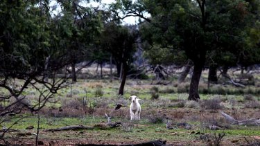 ''Scalded country'': A lone lamb surveys part of Barnaby Joyce's property at Gwabegar, in the state's north-west.
