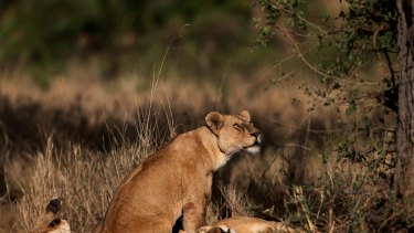 Research has found new evidence that animals, such as lions, are very vulnerable to the effects of warfare.