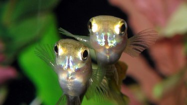 Research suggests male guppies change their mating behaviour when exposed to a common chemical.