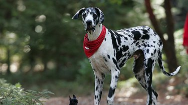 Gibson .... held the record for tallest dog.