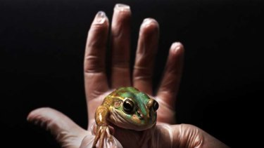 A living germ killer … a green and golden bell frog at Taronga Zoo. It belongs to a species which secretes chemicals that can kill bacterial strains resistant to antibiotic drugs.