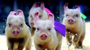 Organisers of a Brisbane charity pig race say the event will go ahead despite criticism from animal rights activists.