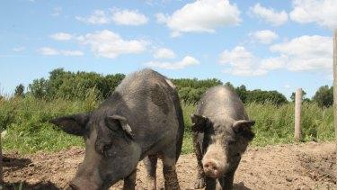 Free range pigs.