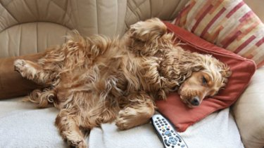 Couch surfing ... Study unlocks the key to bad pooch behaviour.