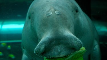 Silt gathering in Moreton Bay may threaten the local dugong population.