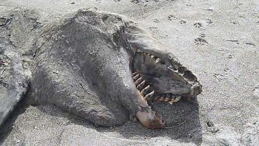 Creature from the deep: Most likely the rotting carcass of a killer whale.