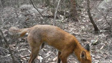 A fox snapped by cameras in Garigal and Ku-ring-gai national parks.