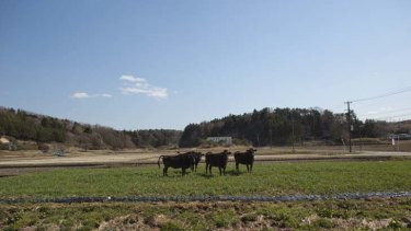 Radioactivity ... abandoned cows stand within the exclusion zone, about 6km from Fukushima nuclear plant.