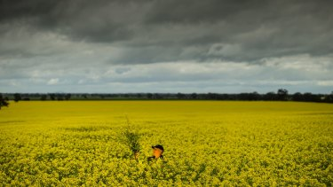 Colin Falls, a farmer from the plains north of Bendigo, standing in his bumper canola crop this week. Farmers are concerned the tie-up of the two global crop seed giants will have negative repercussions locally.