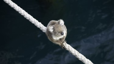 A koala climbs on board the MV Portland.