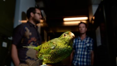 Kevin Rowe, senior curator of mammals at  Museum Victoria, and Nick Clemann, of the threatened fauna program, with a specimen of <i>Pezoporus wallicus</i>  the eastern ground parrot.